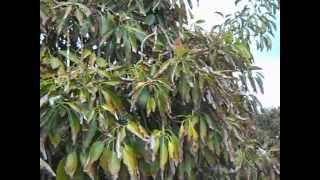 Avocado Tree Growing For Cold Climates