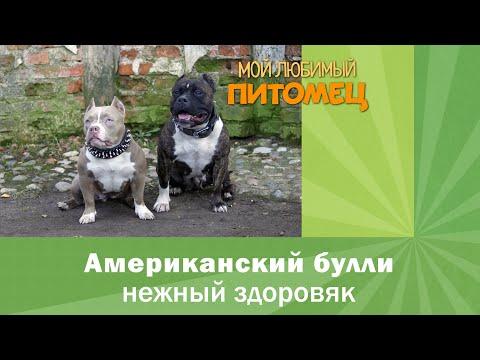 Вопрос: Булли Кутта – что за порода собак, как выглядит?