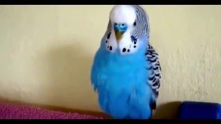 Говорящий попугай Кеша  Красавчик