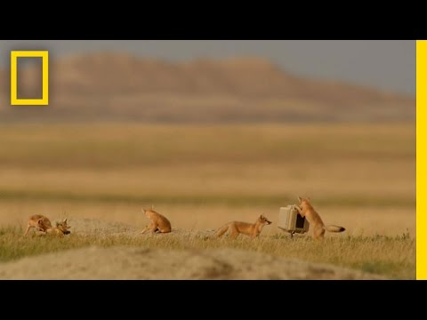 Thumbnail: Playful, Elusive Foxes Took Years to Capture on Camera | National Geographic