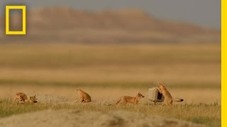 Playful, Elusive Foxes Took Years to Capture on Camera | National Geographic