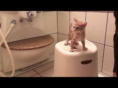 大人しくお風呂に入る子猫の鳴き声がかわいい  The kitten is taking a bath