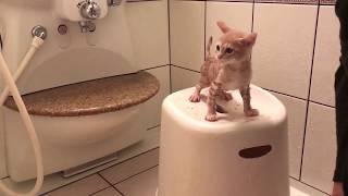 大人しくお風呂に入る子猫の鳴き声がかわいい  The kitten is taking a bath thumbnail
