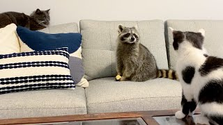 Raccoon and cat friends judge my breakfast