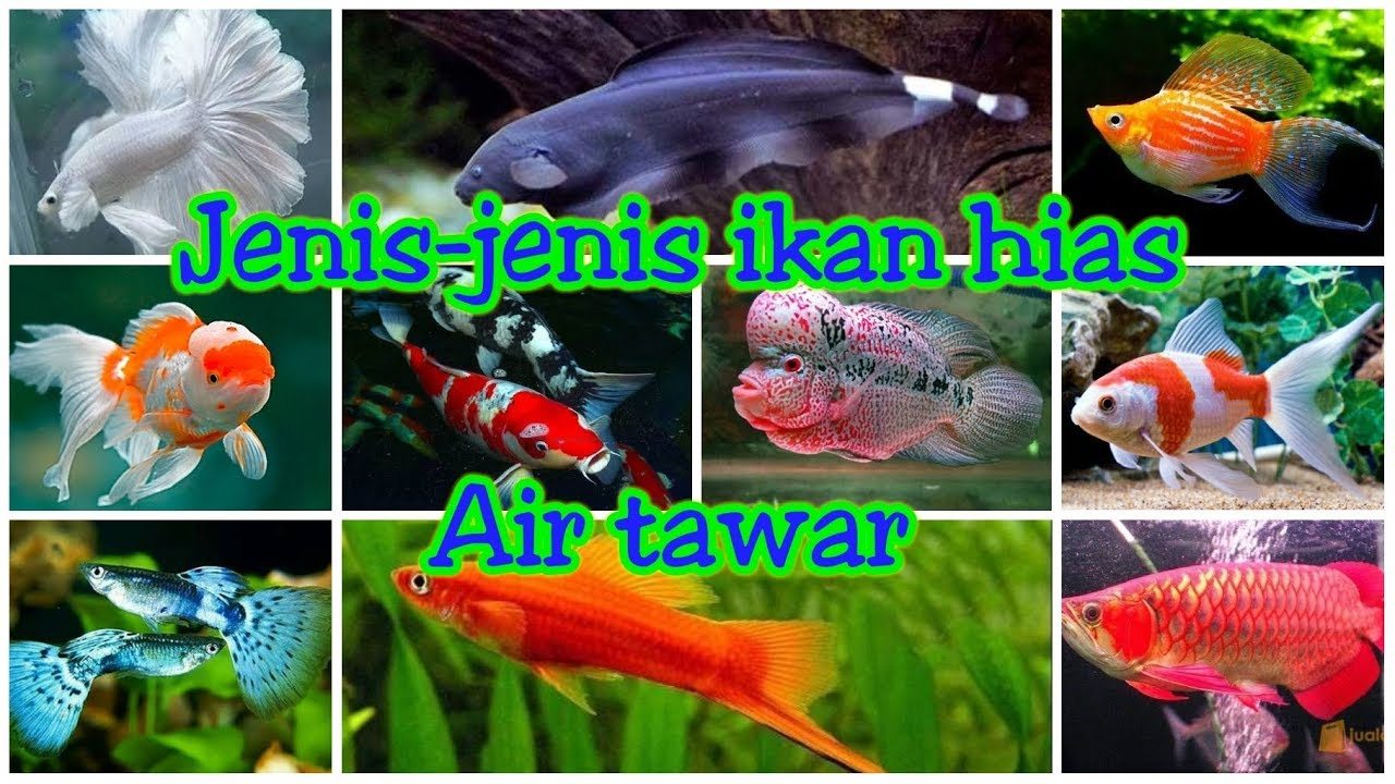 Jenis Jenis Ikan Hias Air Tawar Di Indonesia 10 Jenis Ikan Hias Air Tawar Youtube