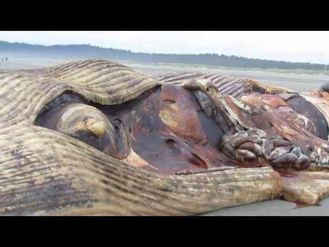 Fin Whale Ocean Shores, WA June 16, 2013 one week beached