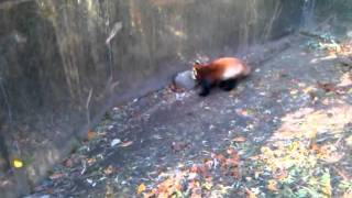 Red Panda at Turtle Back Zoo