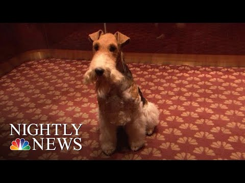 King Of New York: Meet The Westminster Kennel Club's Top Dog | NBC Nightly News