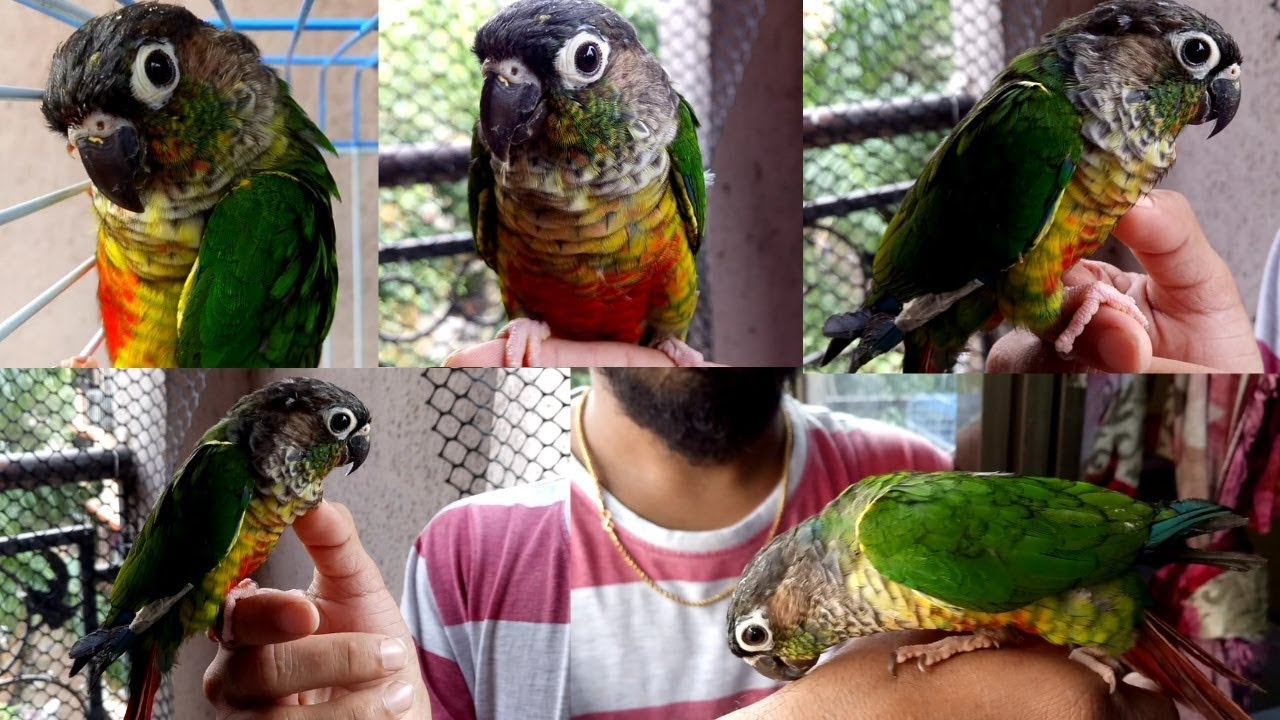 Yellow Sided Red Factor Conure Bird - Furry & Feathers