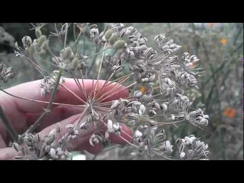Growing and harvesting Fennel herb