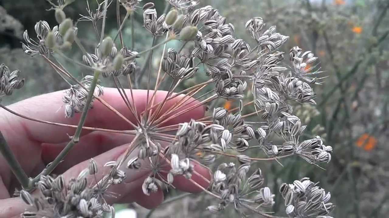 Growing and harvesting Fennel herb - YouTube