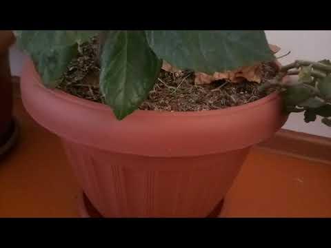 Уй гулдери гибискус китайская роза