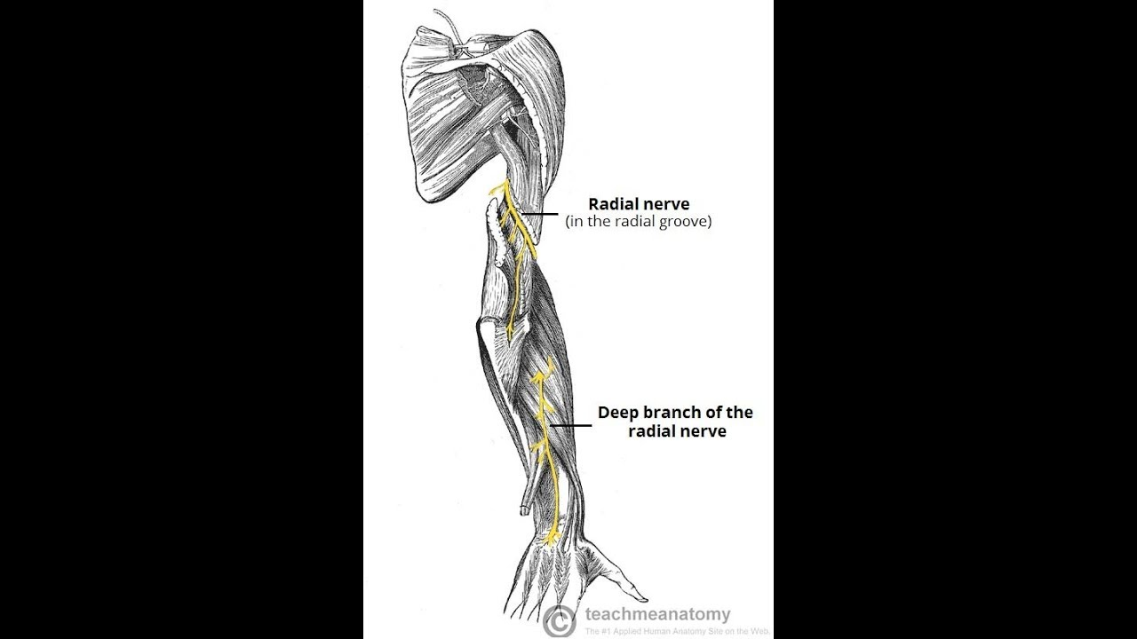 approach to Radial Nerve?????? - YouTube