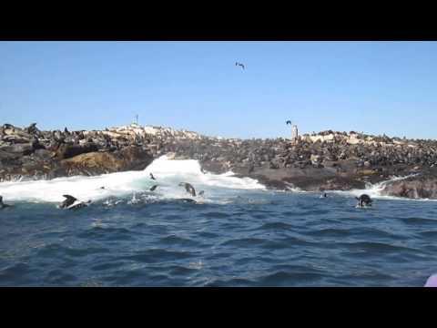 Seal Island and False Bay Feeding Frenzy!