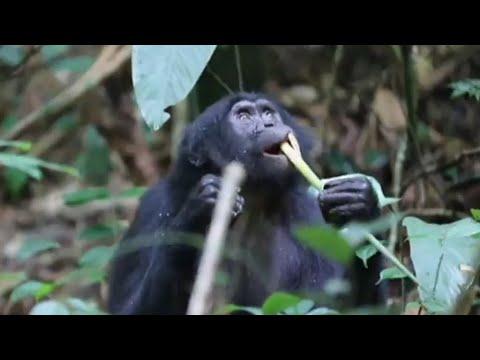 فرانس 24:Biologists index endangered species at DR Congo's Salonga Park