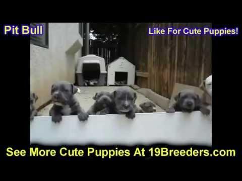 Pitbull, Puppies, For, Sale, In, Anchorage, Alaska,AK, Fairbanks, Juneau, Eagle River