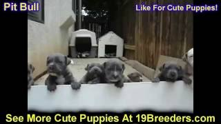 Pitbull, Puppies, For, Sale, In, Anchorage, Alaska,AK, Fairbanks, Juneau, Eagle River