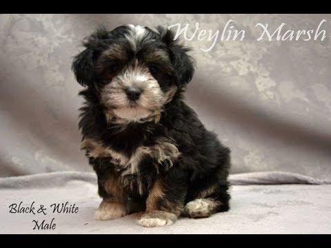 Havanese puppies Born April 22,2019