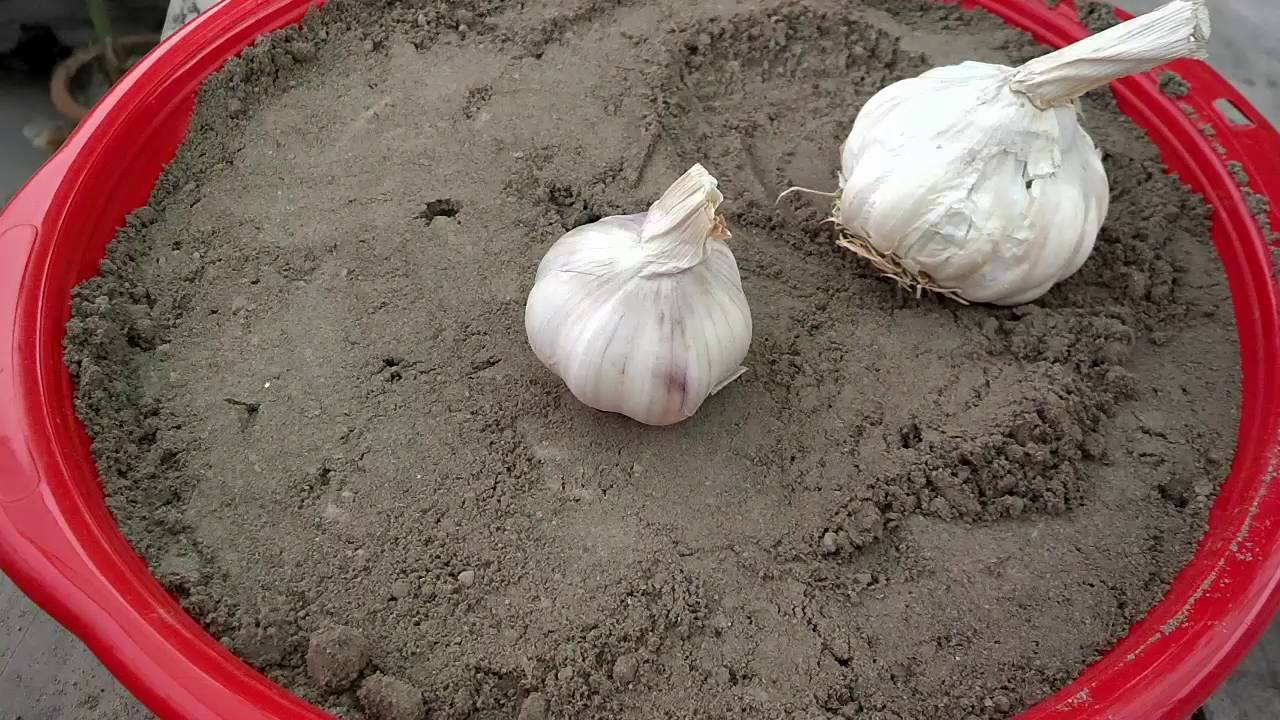 how to grow garlic from garlic winter vegetables kitchen