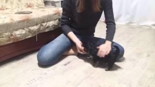 Как научить щенка команде сидеть. Йорк Смоки 2 мес