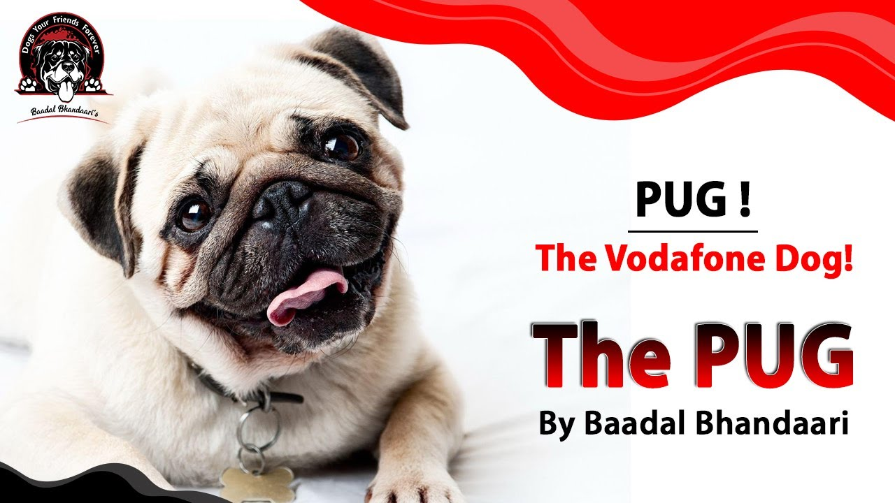 PUG! The Vodafone Dog! || By Baadal Bhandaari