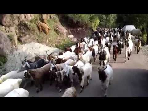 Gypsies of Kashmir and Herd of Goats