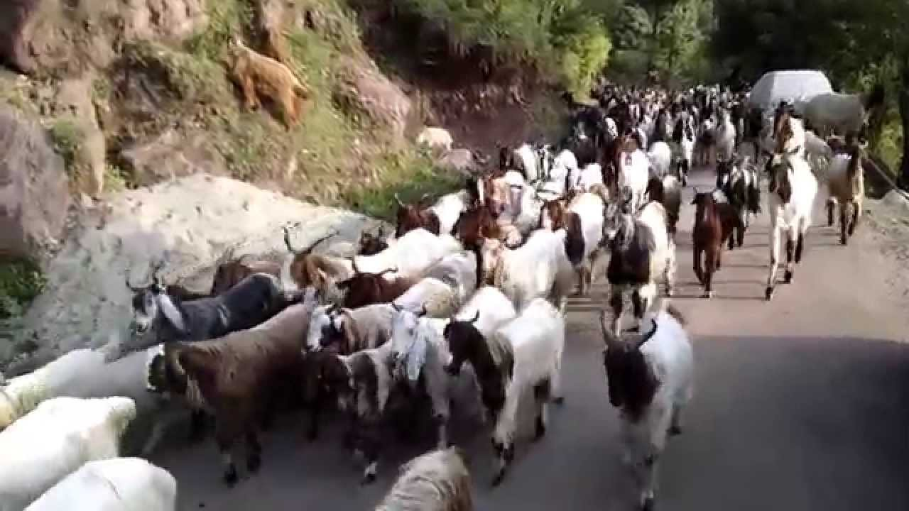 gypsies of kashmir and herd of goats youtube
