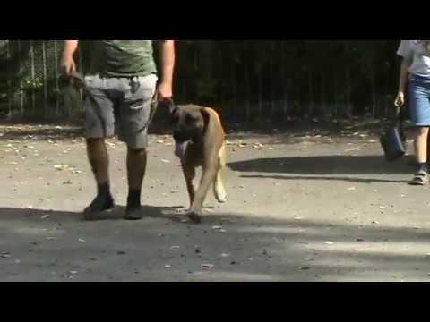 южноафриканский бурбуль кобель щенок 2009 Луганск