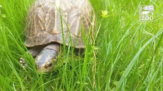 Tank the Florida Box Turtle turns 70 - Cincinnati Zoo
