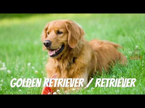 Golden Retriever - Dog Breed Information, Life, Origin, Problems, Wikipedia (Whole Story)