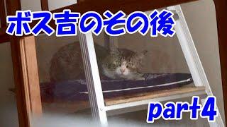 保護猫ボス吉のその後 part4 Boss-Cat's life after the captor part4