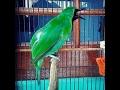 Cucak Ijo Gacor Cucak Jenggot Dan Love Bird