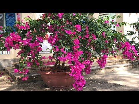 How to make Bougainvillea blooming many flowers | bougainvillea