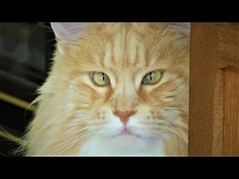 5 REASONS FOR OWNING A MAINE COON CAT