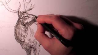 Bull Elk Drawing