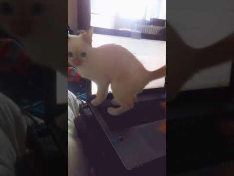 Thor The Cat vs Orange ( Flame Point Siamese)