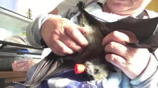 Tickling a baby bat:  This is Pretzel