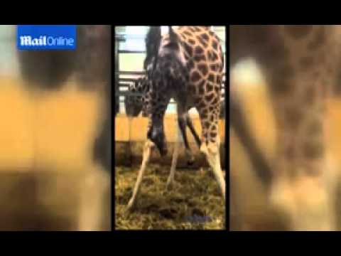Incredible (and a little gross) moment a giraffe is born