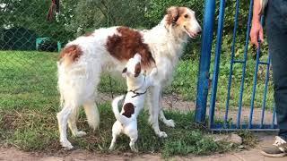 Собаки подрались/Dogs attack