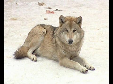 Волк и пятеро поросят... родились в челнинском зоопарке!