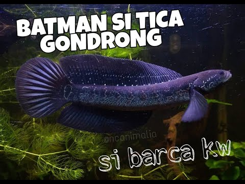 SI GONDRONG BARCA