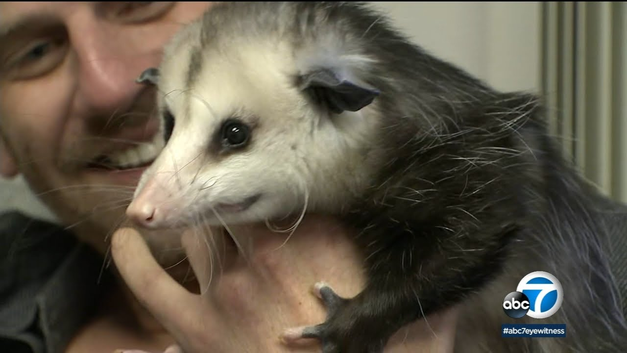 Opossum not allowed: JetBlue kicks SoCal man, pet off flight | ABC7