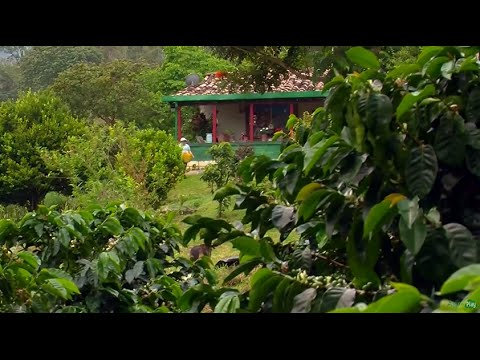 A Day in the Life of Colombian Coffee Growers - TvAgro by Ju