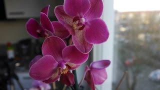 Орхидея уход I Пересадка орхидеи I Как правильно ухаживать I Фаленопсис(Мой личный опыт совместной жизни с орхидеями!) Под словом