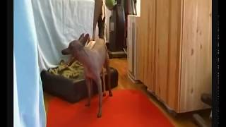 20a. Natural Dog Mating American Hairless Terrier Dizzy by AHTfan Sweden.flv