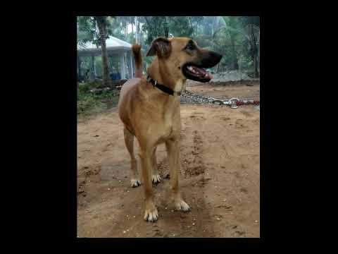 15 Indian Dog Breeds   Rare Indian Dogs   FunnyDog TV