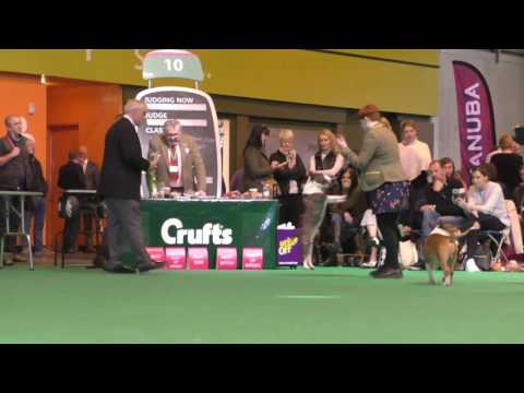 Crufts Dog show 2017 Miniature Bull Terriers Dog Challenge