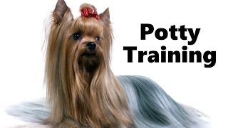 How To Potty Train A Silky Terrier Puppy - House Training Australian Silky Terrier Puppies