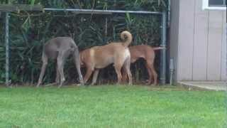Vizsla, Weimaraner, Mixed Breed Eating Bamboo