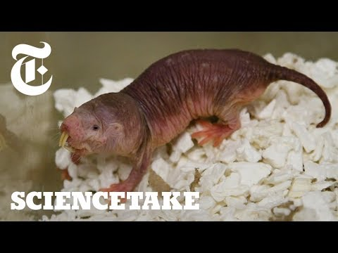 How Naked Mole Rats Survive Without Oxygen | ScienceTake